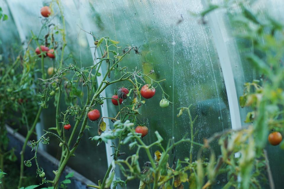 Serre à tomate